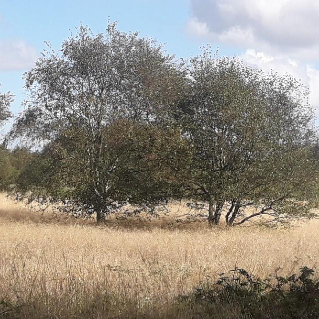 Foto/billede af Dun-Birk (Betula pubescens)