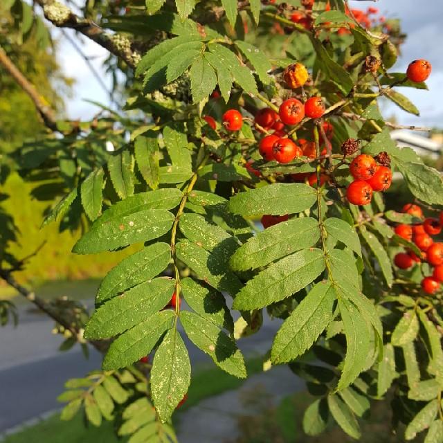 Foto/billede af Almindelig Røn (Sorbus aucuparia)