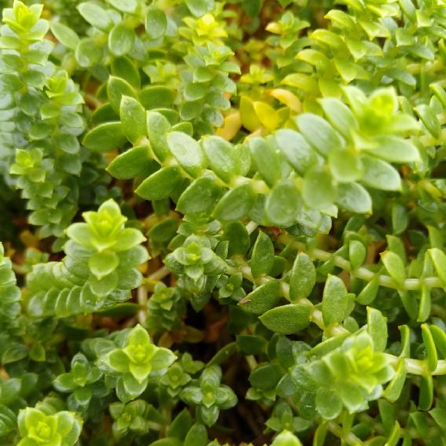 Foto/billede af Strandarve (Honckenya peploides)