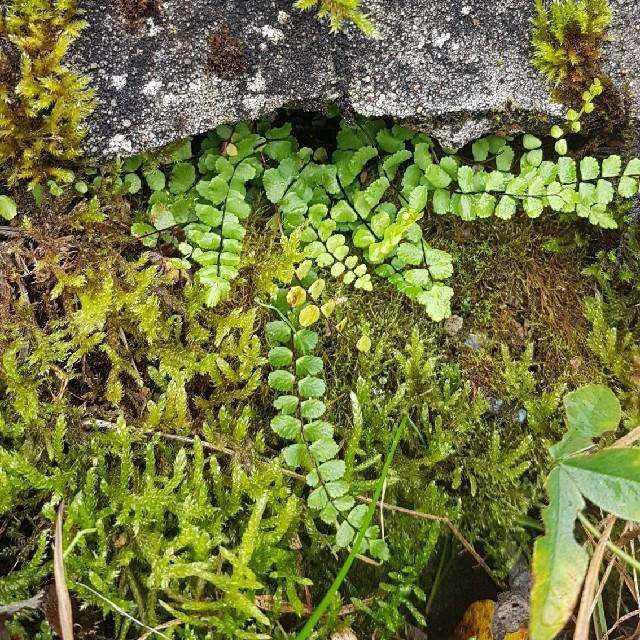 Foto/billede af Rundfinnet Radeløv (Asplenium trichomanes ssp. trichomanes)