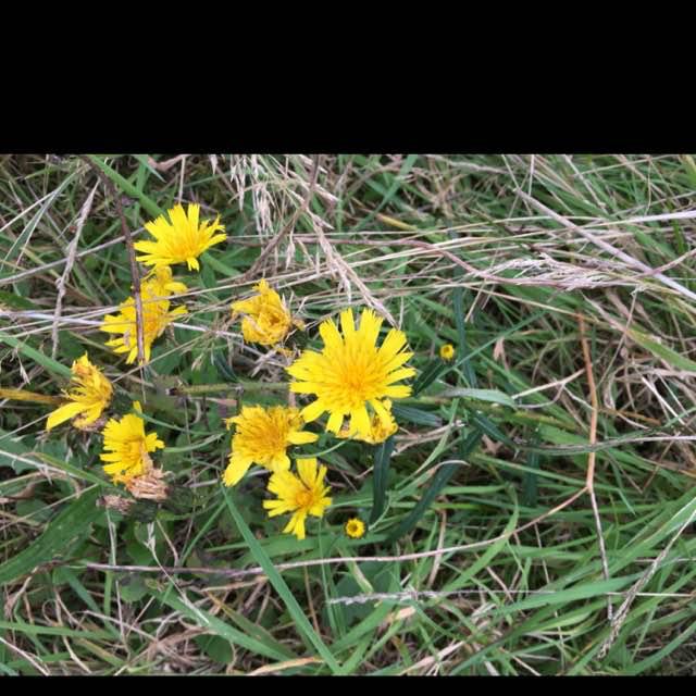 Foto/billede af Smalbladet Høgeurt (Hieracium umbellatum)
