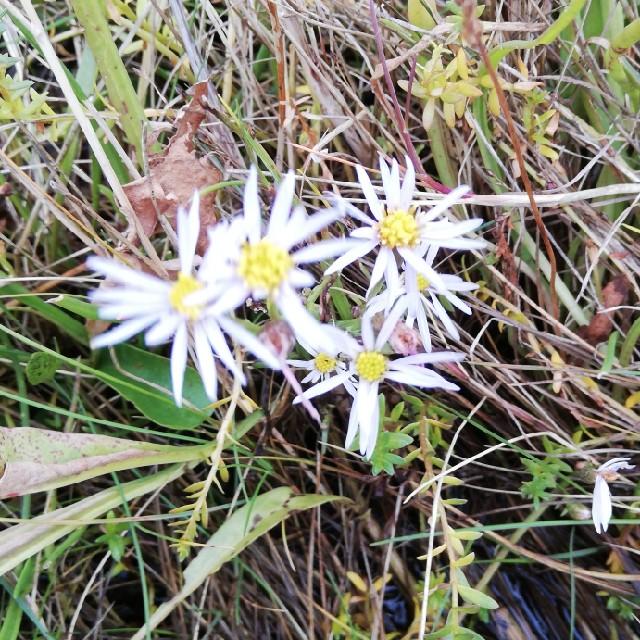 Foto/billede af Strandasters (Tripolium vulgare)