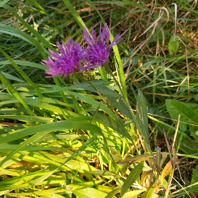 Foto/billede af Almindelig Knopurt (Centaurea jacea)