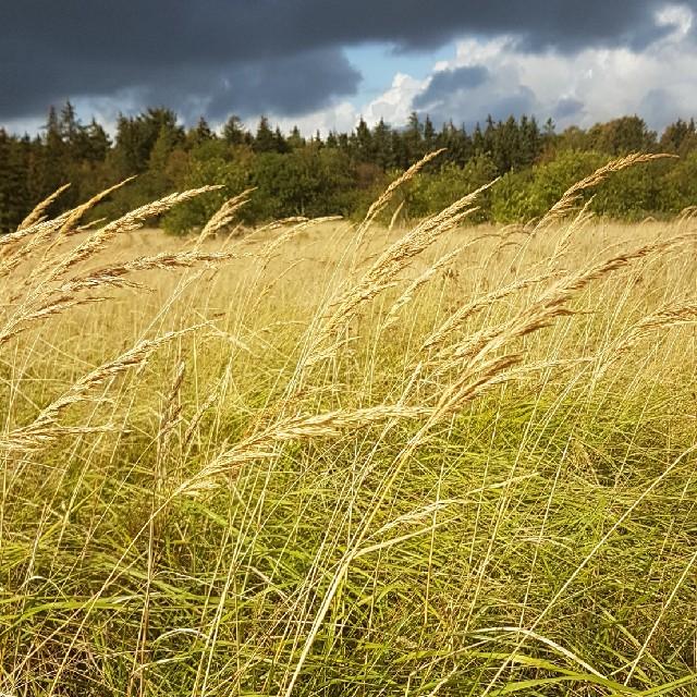 Foto/billede af Bjerg-Rørhvene (Calamagrostis epigejos)