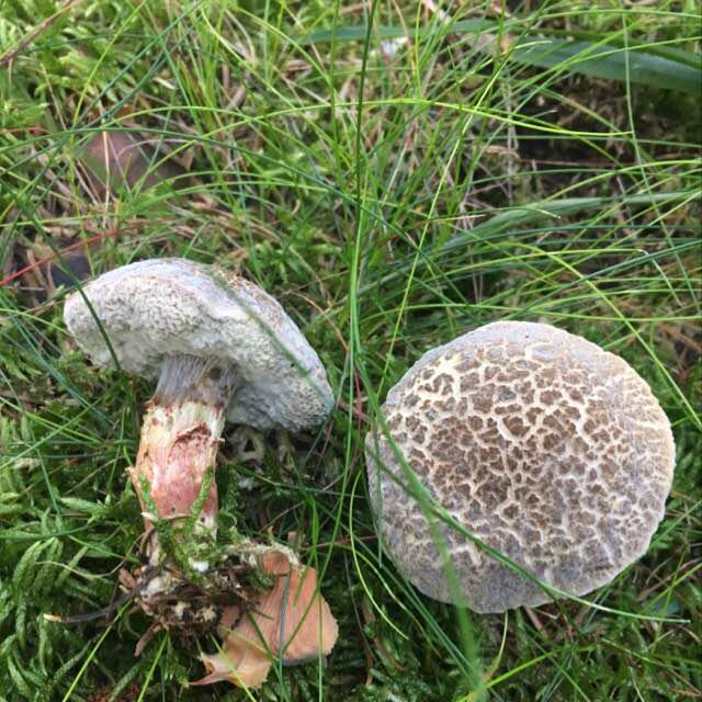 Foto/billede af Brun Skælrørhat (i bred betydning) (Leccinum scabrum (sensu lato.))