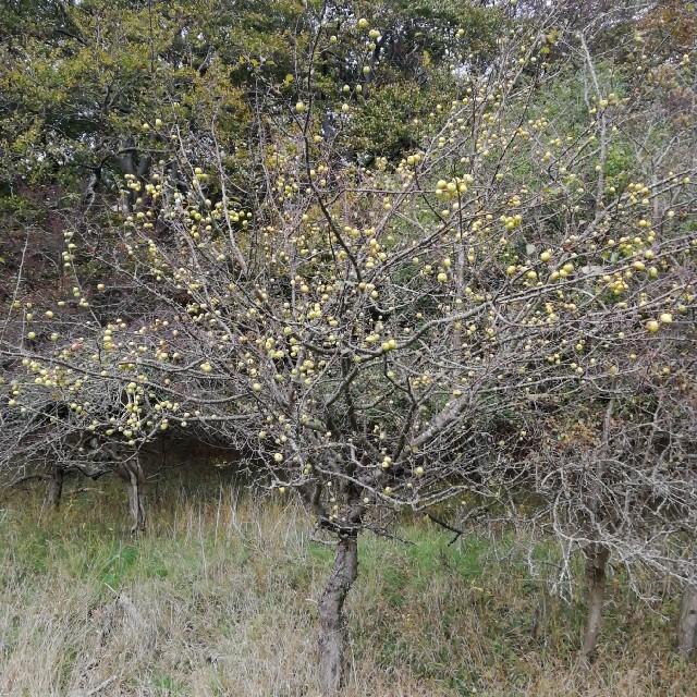 Foto/billede af Skov-Æble (Malus sylvestris)