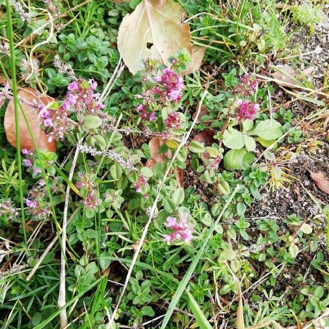 Foto/billede af Bredbladet Timian (Thymus pulegioides)