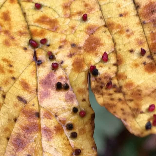 Foto/billede af Ahornvortegalmide (Aceria cephalonea)