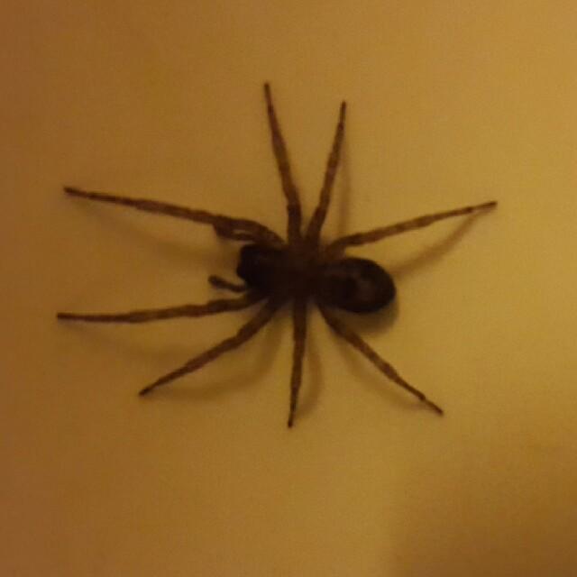 Foto/billede af Amaurobius sp. (Amaurobius sp.)