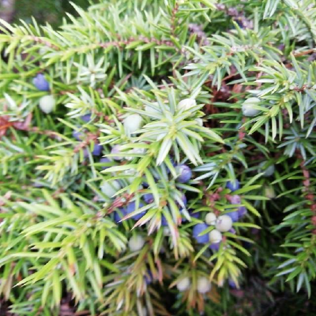 Foto/billede af Ene (Juniperus communis)