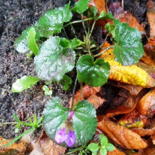 Foto/billede af Skov-Viol (Viola reichenbachiana)