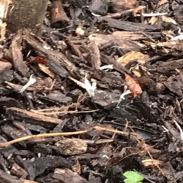 Grenet Stødsvamp (Xylaria hypoxylon)