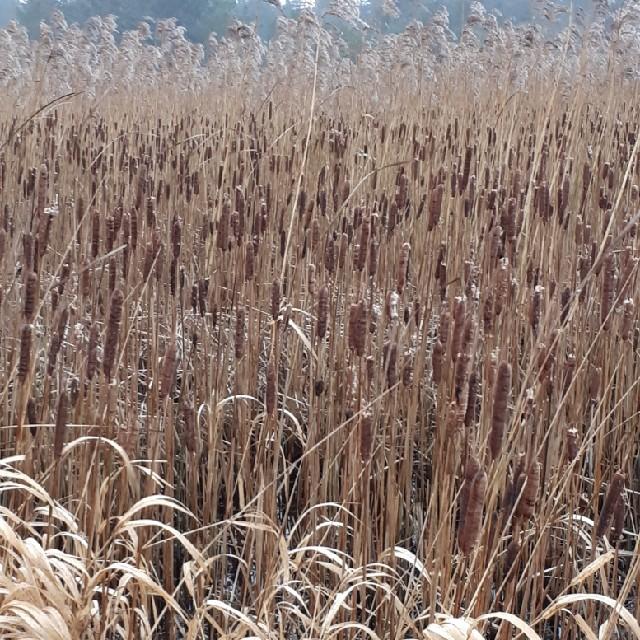 Foto/billede af Smalbladet Dunhammer (Typha angustifolia)