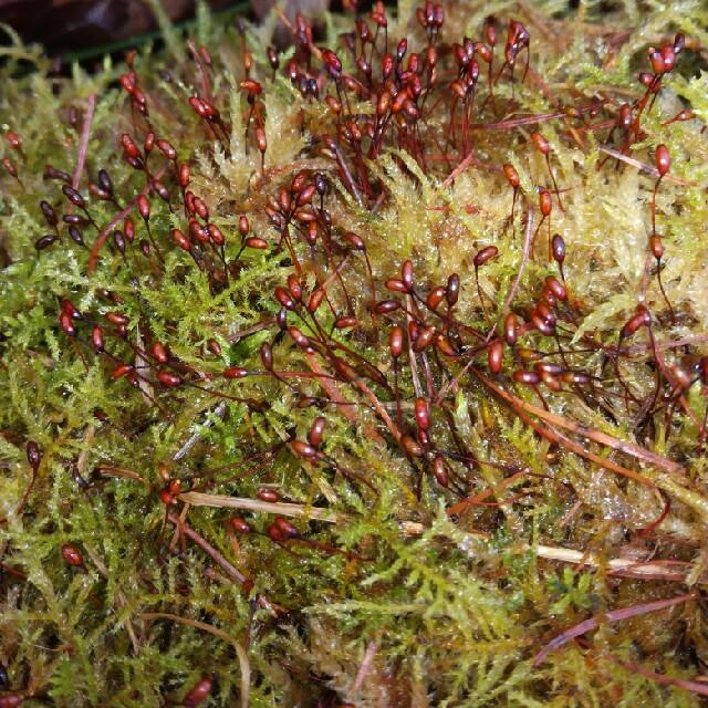 Almindelig Kortkapsel (Brachythecium rutabulum)