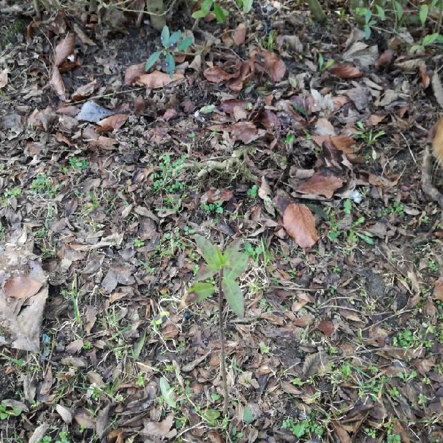 Foto/billede af Almindelig Liguster (Ligustrum vulgare)