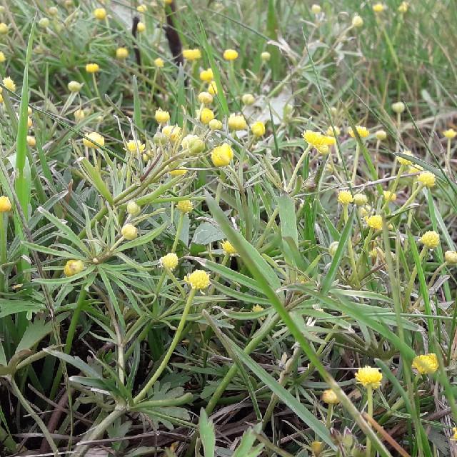 Nyrebladet Ranunkel (Ranunculus auricomus)