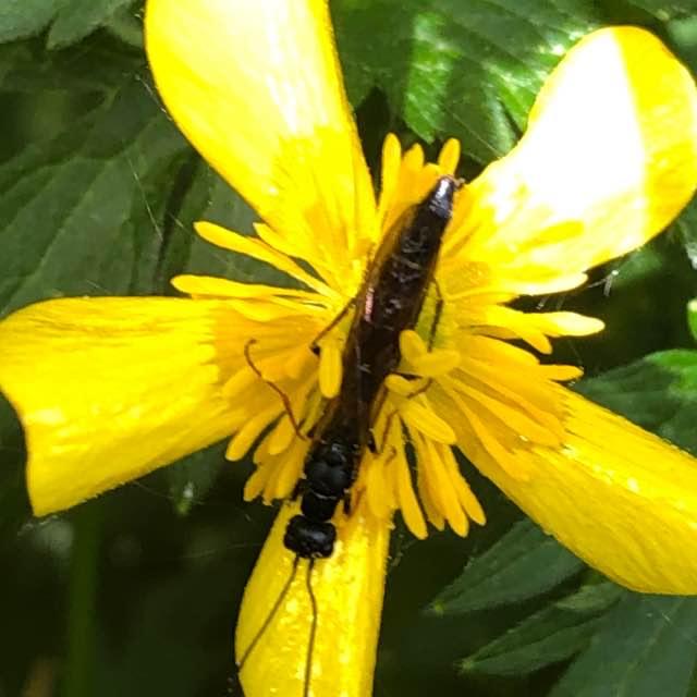 Cephidae ubest.