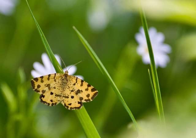 Leopardmåler (Pseudopanthera macularia)