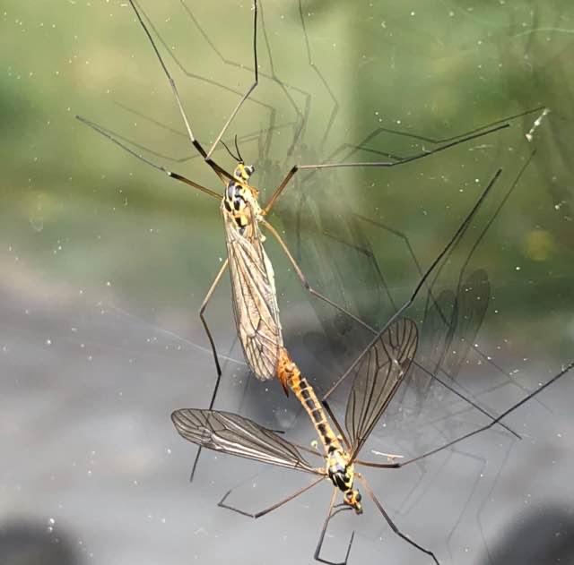 Nephrotoma sp. (Nephrotoma sp.)