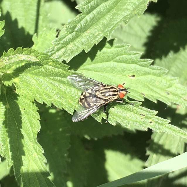 Kødflue ubest. (Sarcophagidae indet.)