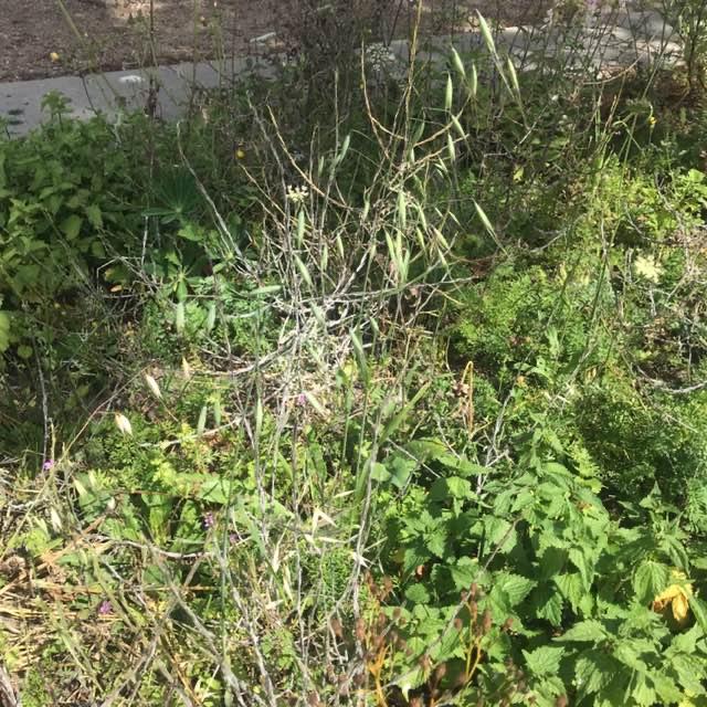 Småblomstret Havre (Avena sterilis ssp. ludoviciana)