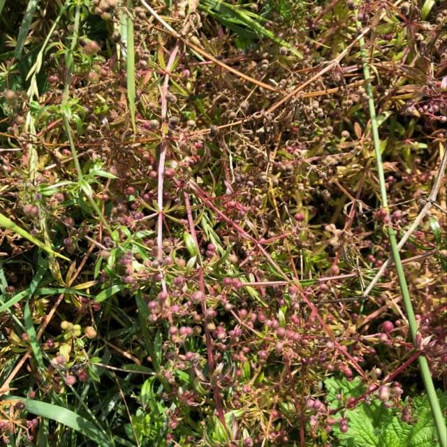 Burre-Snerre (Galium aparine)