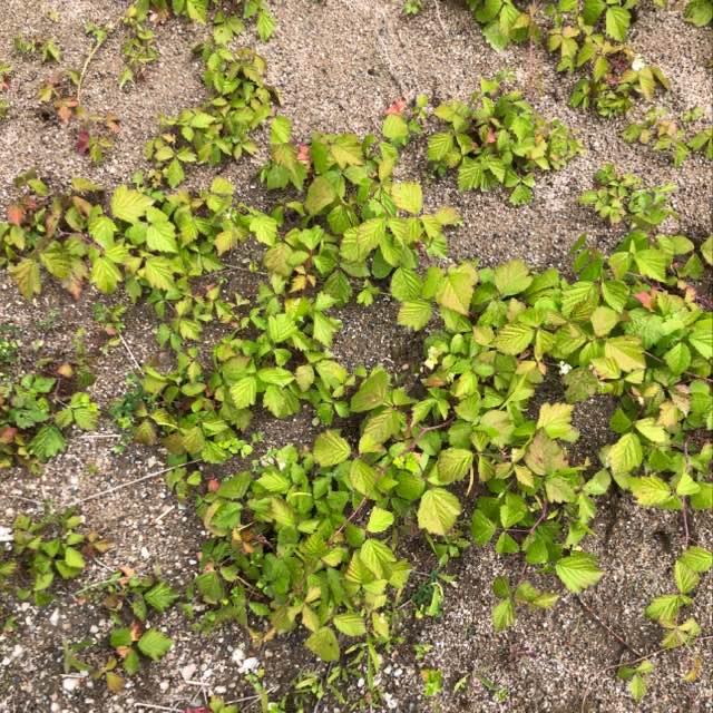 Korbær (Rubus caesius)