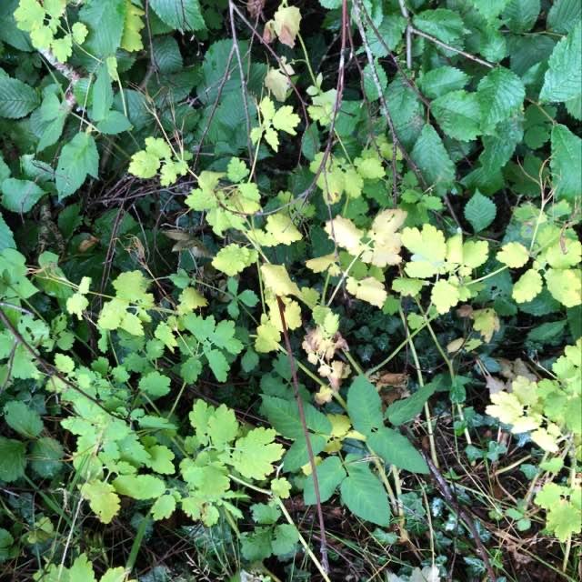 Almindelig Svaleurt (Chelidonium majus var. majus)
