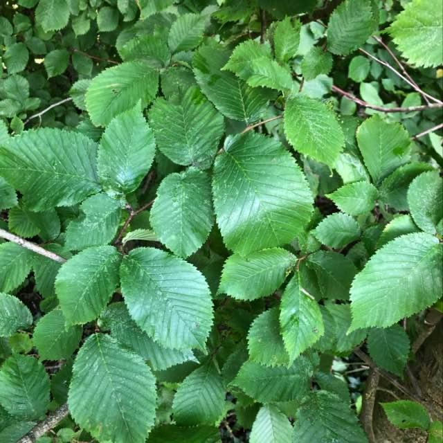 Skov-Elm (Ulmus glabra)