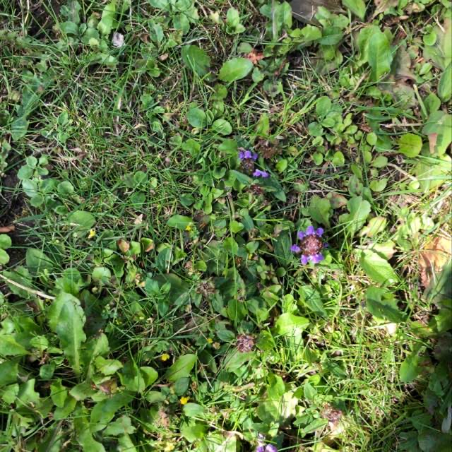 Almindelig Brunelle (Prunella vulgaris)