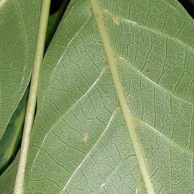 Lille Valnødbladlus