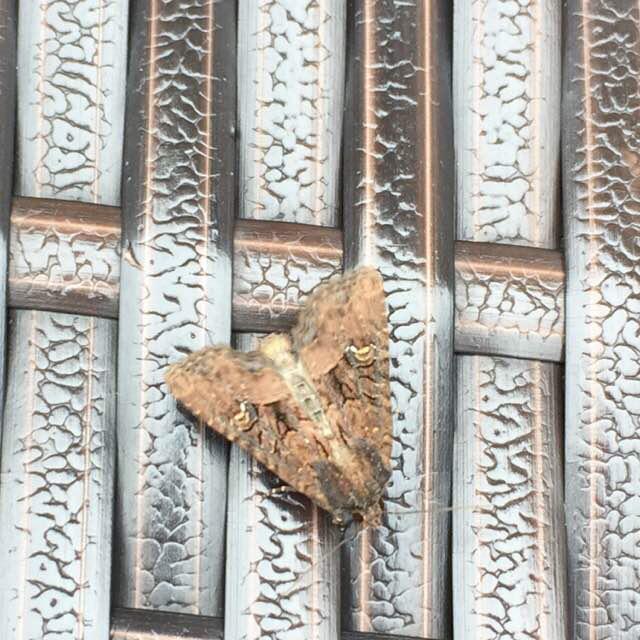 Hvidaksugle (Mesapamea secalis)