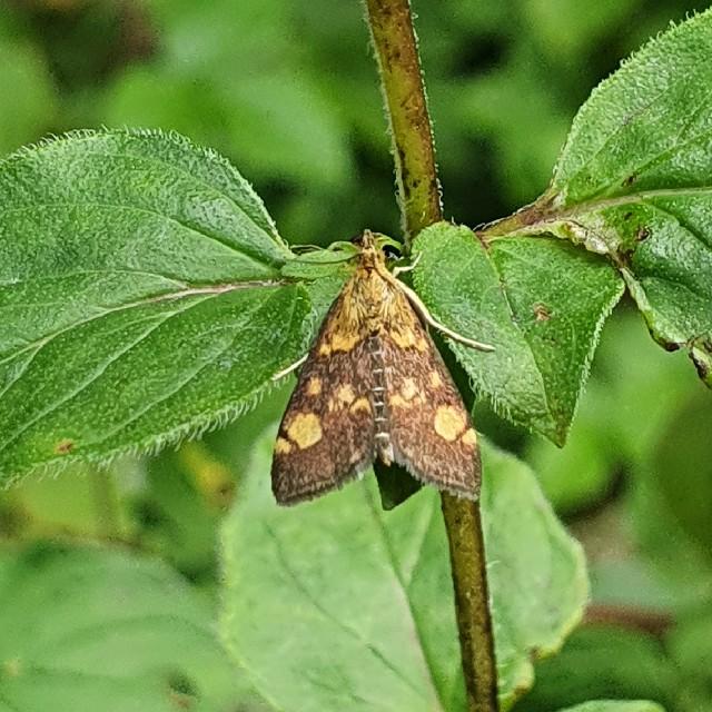 Pyrausta sp. (Pyrausta sp.)