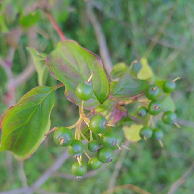 Rød Kornel (Cornus sanguinea)