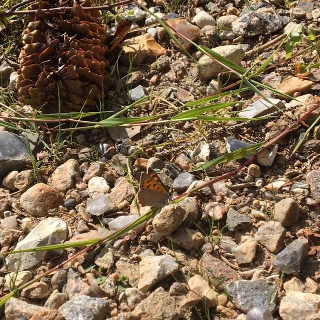Lille Ildfugl (Lycaena phlaeas)