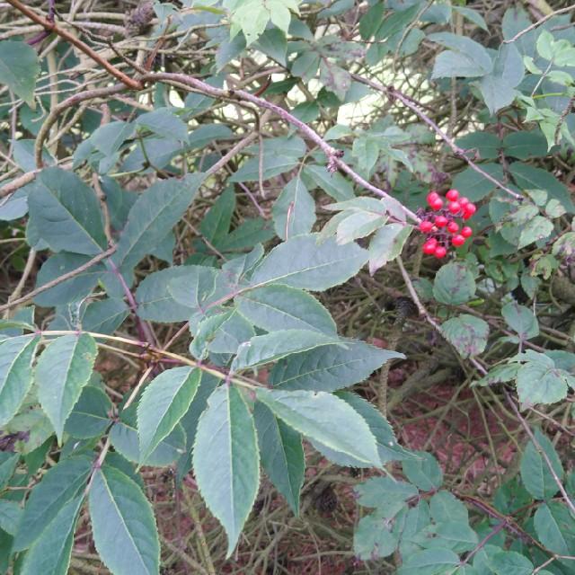 Drue-Hyld (Sambucus racemosa)
