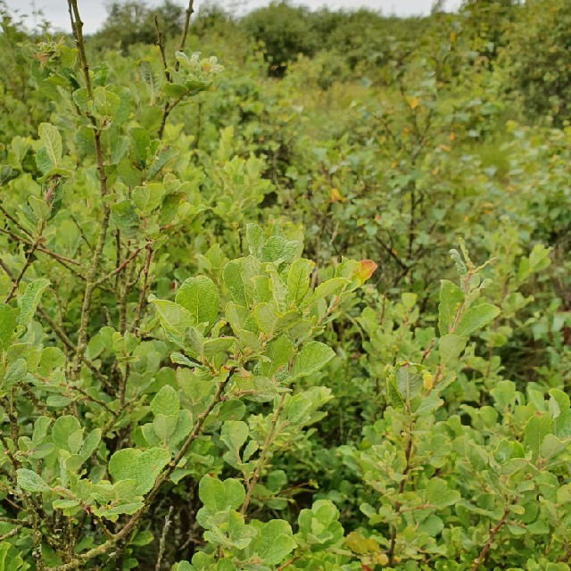 Øret Pil (Salix aurita)