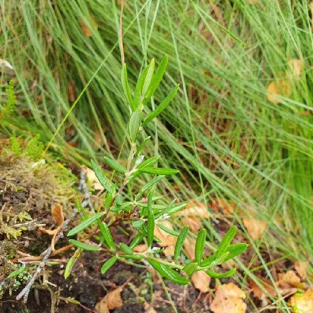 Rosmarinlyng (Andromeda polifolia)