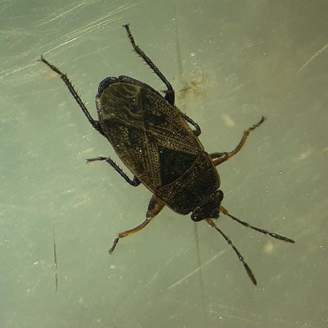 Trapezonotus sp. (Trapezonotus sp.)