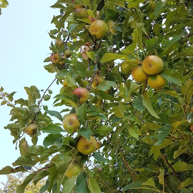 Skov-Æble