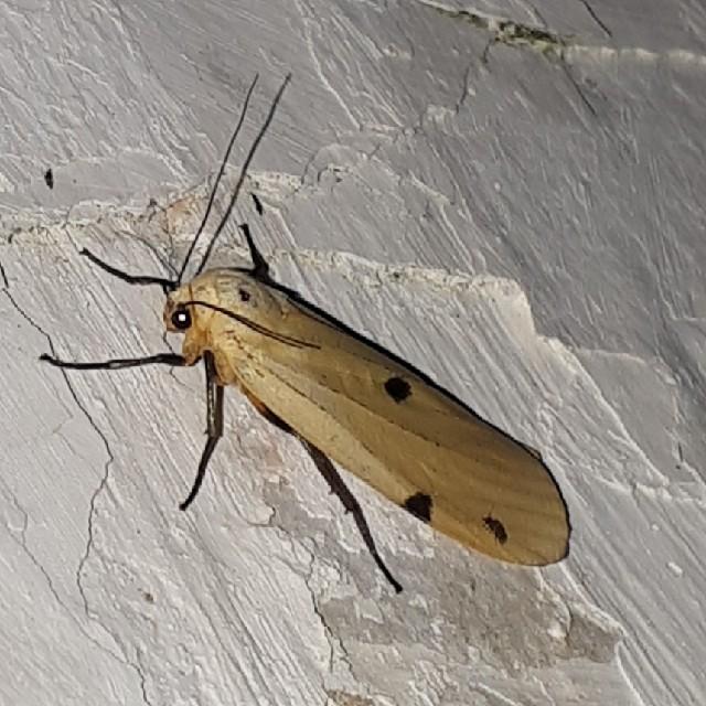 Stor Lavspinder (Lithosia quadra)