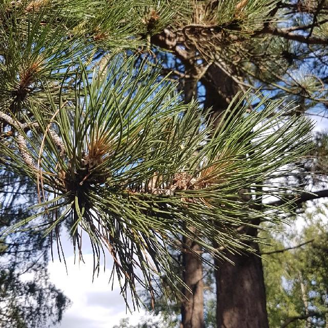 Skov-Fyr (Pinus sylvestris)