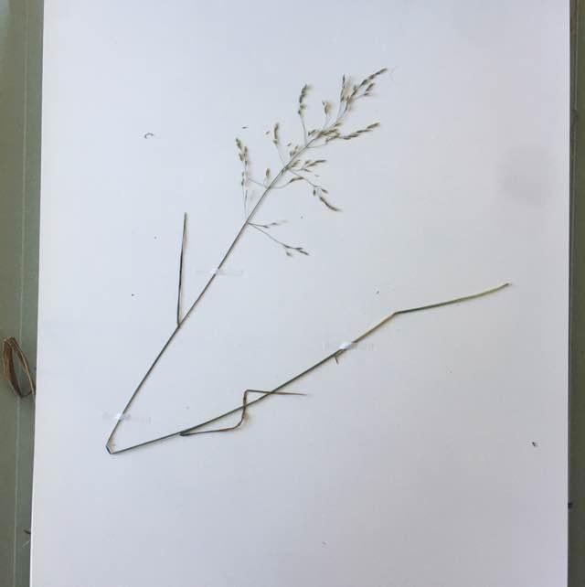 Lund-Rapgræs (Poa nemoralis)