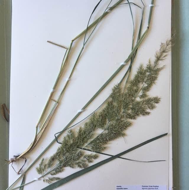 Stortoppet Hvene (Agrostis gigantea)