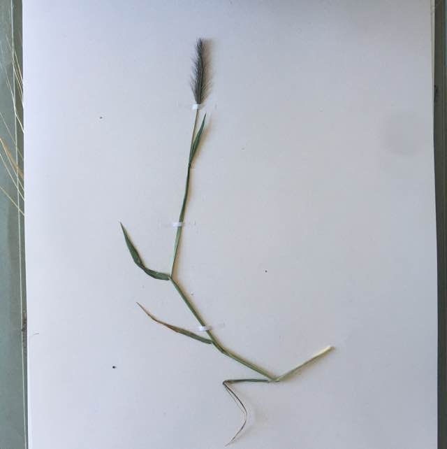 Gold Byg (Hordeum murinum)