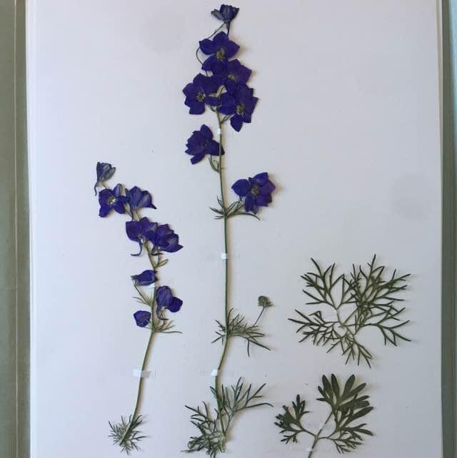 Hyacint-Ridderspore