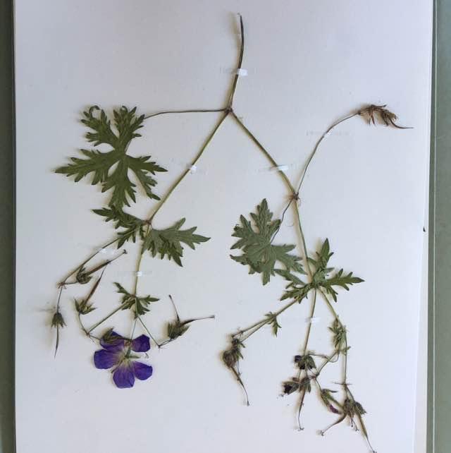 Eng-Storkenæb (Geranium pratense)