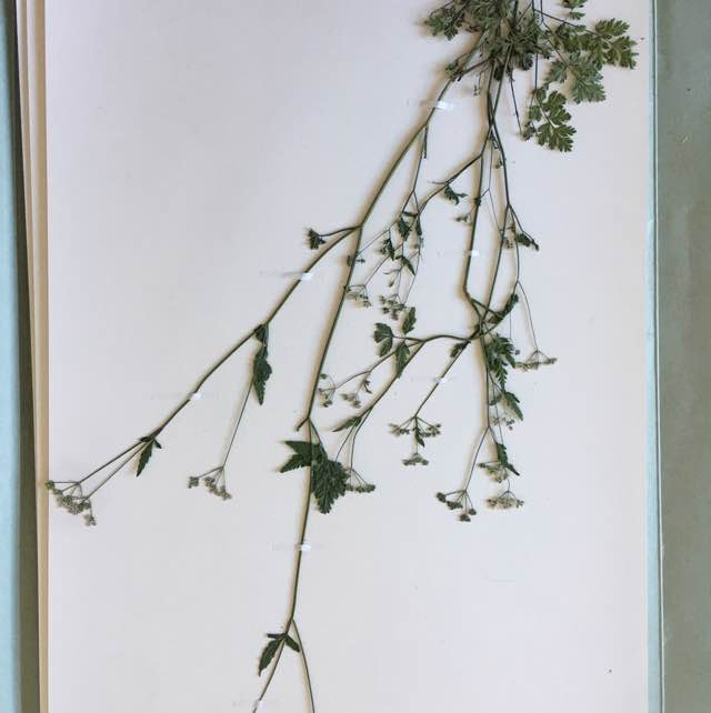 Vild Kørvel (Anthriscus sylvestris)