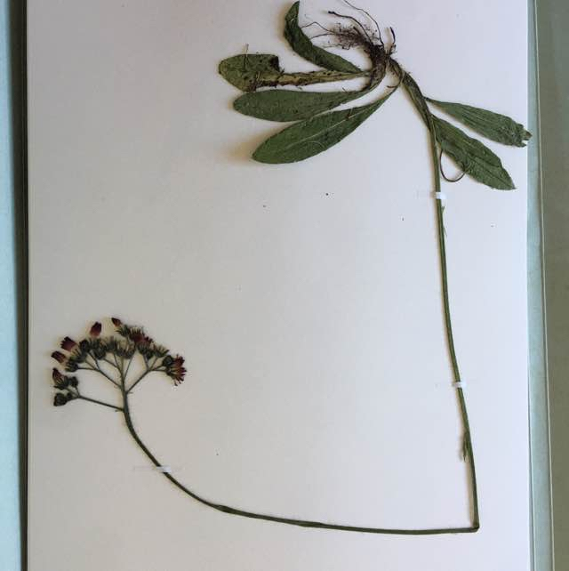 Pomerans-Høgeurt (Pilosella aurantiaca ssp. aurantiaca)