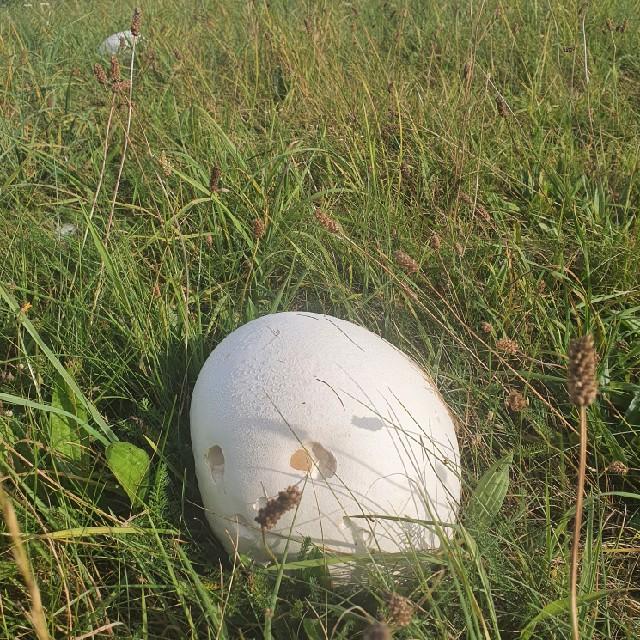Kæmpe-Støvbold
